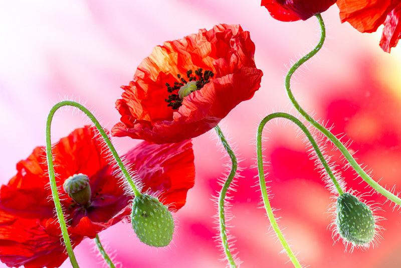 Poppies (2948) by Andy Small