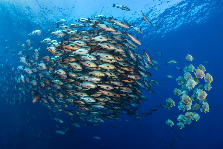 Snapper And Batfish Schools, Egypt by Alex Mustard