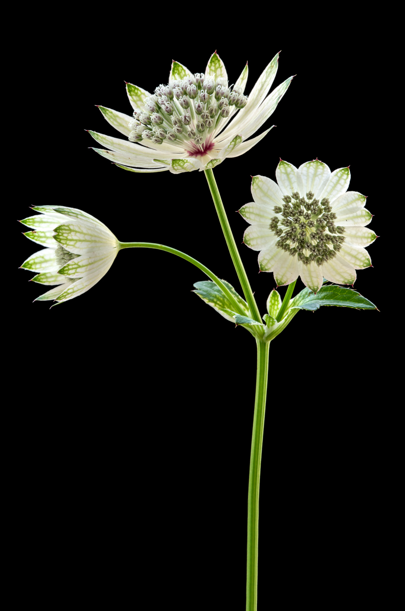 Astrantia (2687) by Andy Small