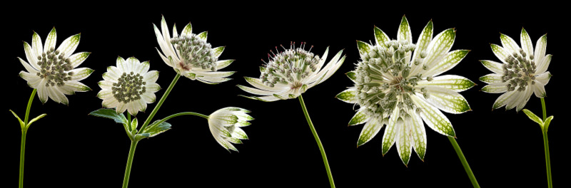 Astrantia Panoramic (2270) by Andy Small