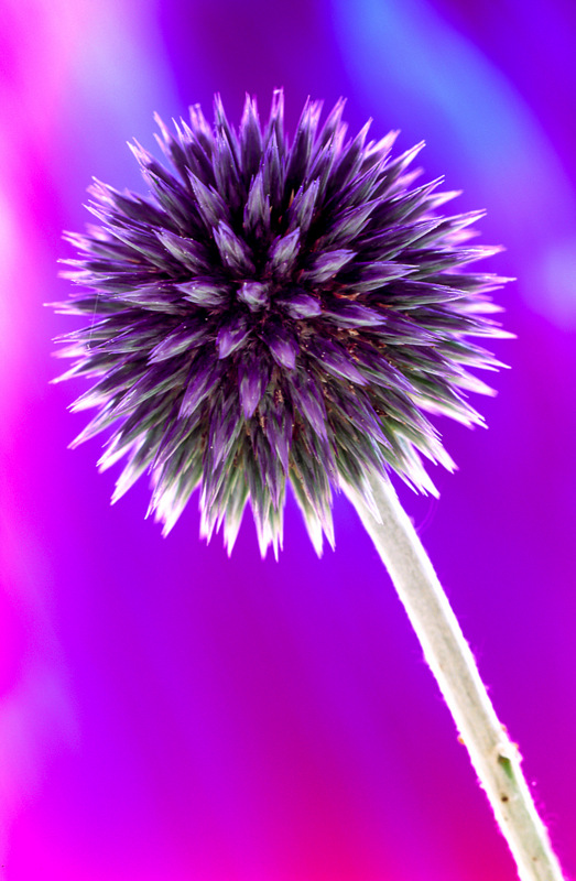 Echinops (0458) by Andy Small