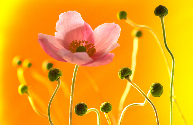 Japanese Anemone (0231) by Andy Small