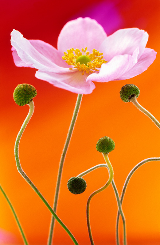 Japanese Anemone (0232) by Andy Small