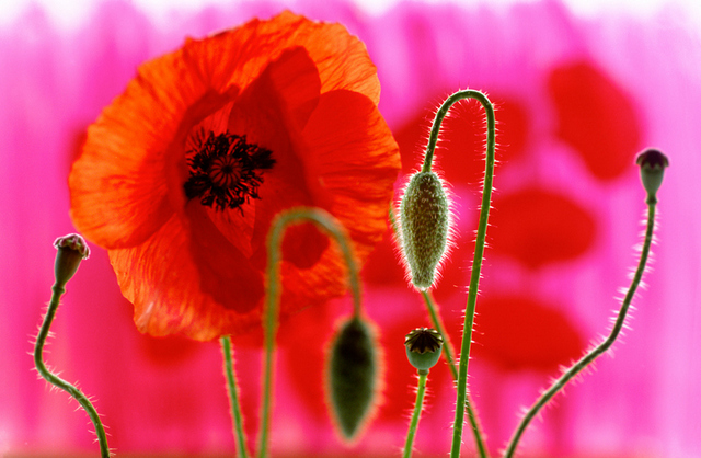 Poppies (0039) by Andy Small