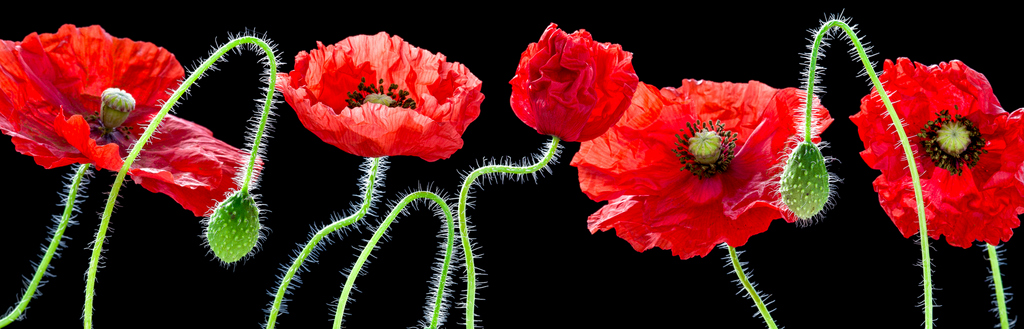Panoramic Poppies (2943) by Andy Small