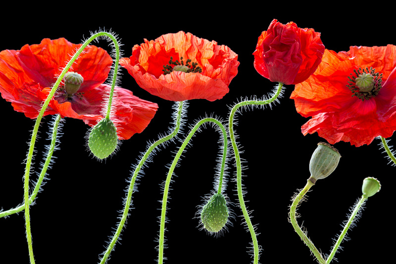 Poppies (2960) by Andy Small