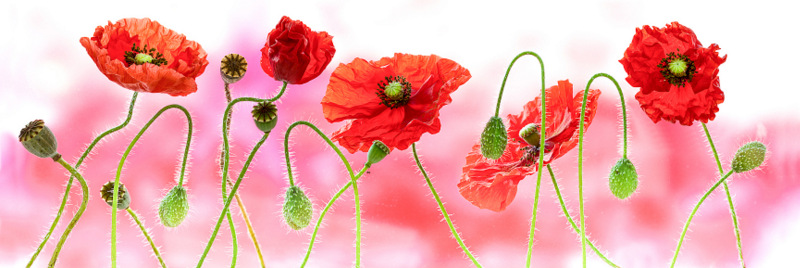 Poppies Panoramic (2945) by Andy Small