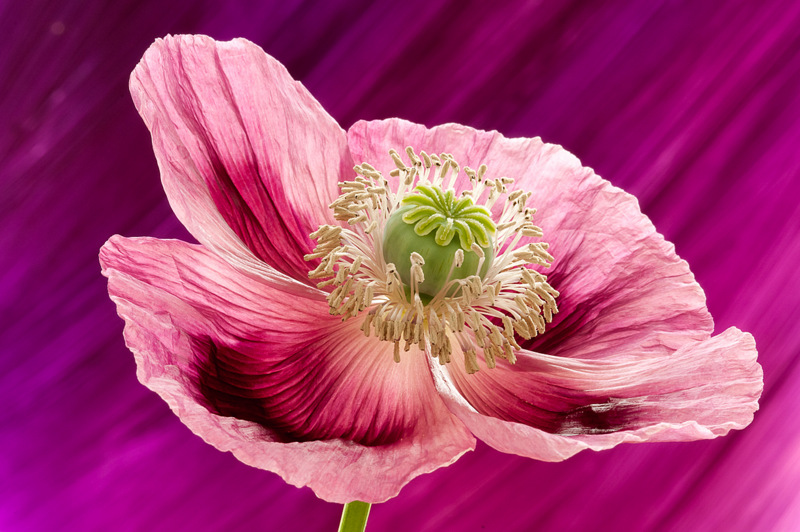 Poppy (2016) by Andy Small