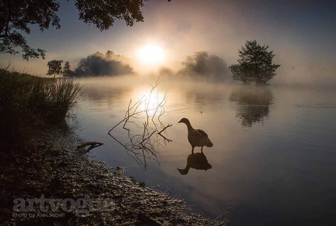 Egyptian goose sunrise by Alex Saberi